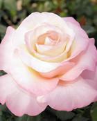 rose343