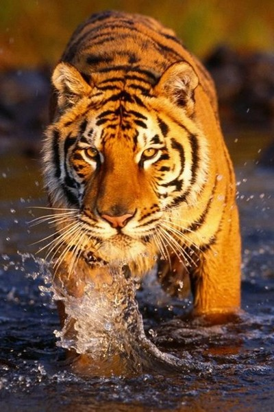 Free Wet-Tiger-iphone-4s-wallpaper.jpg phone wallpaper by snyderman1