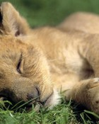 lion-cub-grass-lion-wild-cat-960x640.jpg