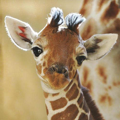 Free baby-giraffe-2-12641_large.jpg phone wallpaper by biscuitcat