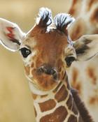 baby-giraffe-2-12641_large.jpg wallpaper 1