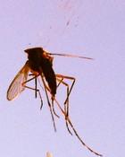 Mosquito  wallpaper 1