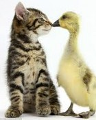 Kitten And A Duck