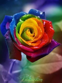Free Rose2.jpg phone wallpaper by twifranny