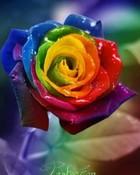 Rose2.jpg wallpaper 1