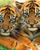 2 tiger cubs.jpg wallpaper 1