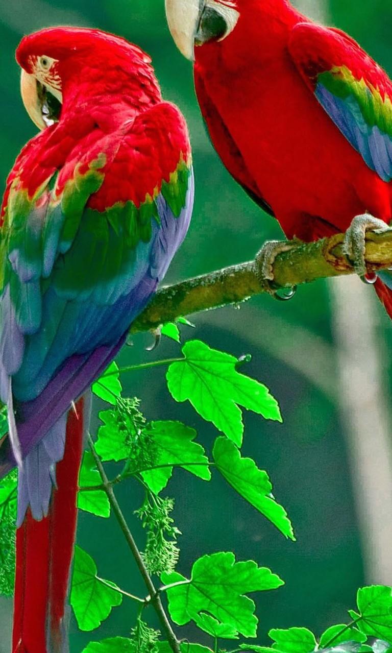Free Beautiful Parrots.jpg phone wallpaper by twifranny