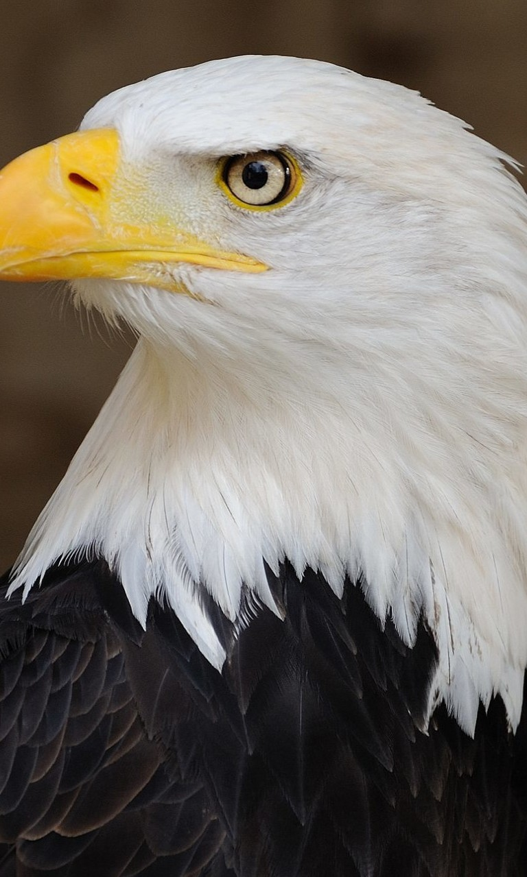 Free Eagle American Symbol.jpg phone wallpaper by twifranny