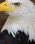 Eagle American Symbol.jpg