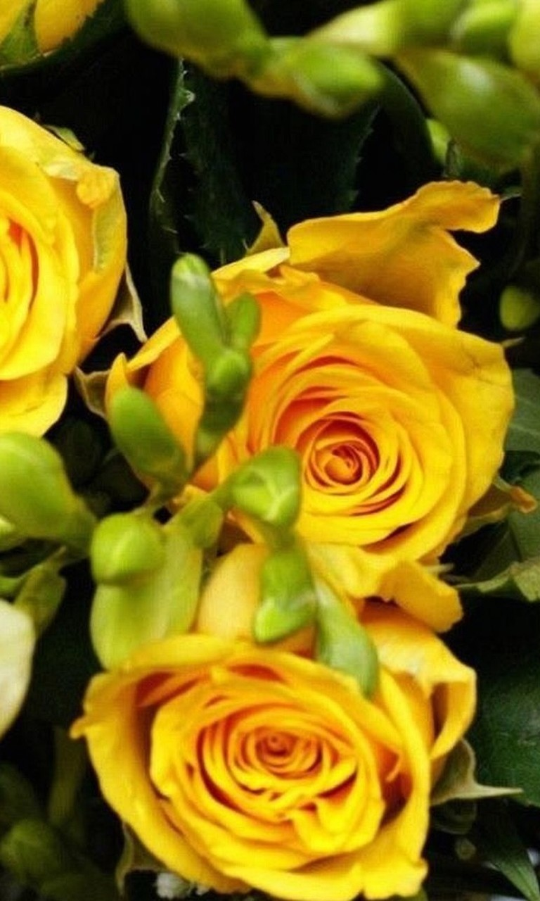 Free Yellow Roses.jpg phone wallpaper by twifranny