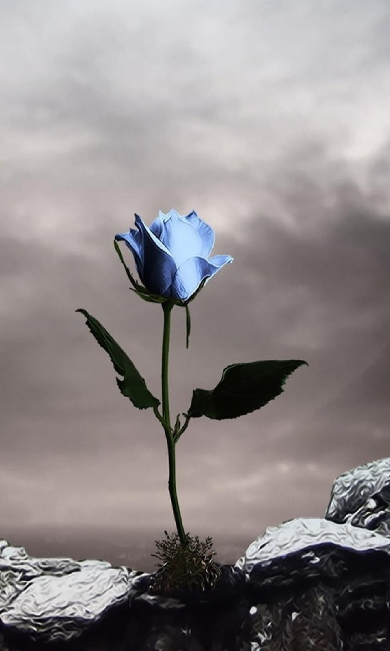 Free Single Blue Rose.jpg phone wallpaper by twifranny