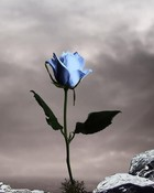 Single Blue Rose.jpg