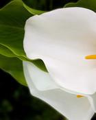 lily wallpaper 1