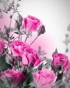 Pink Roses Wallpaper.jpg