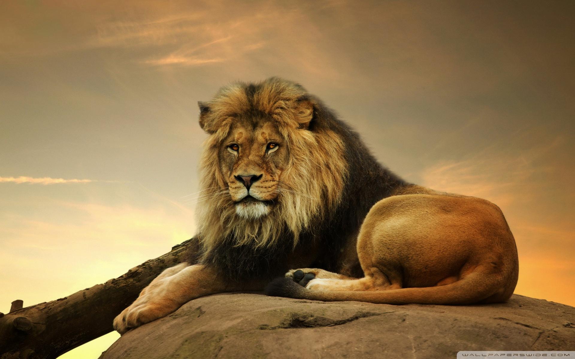 Free Big Lion On Stone phone wallpaper by kindrakay