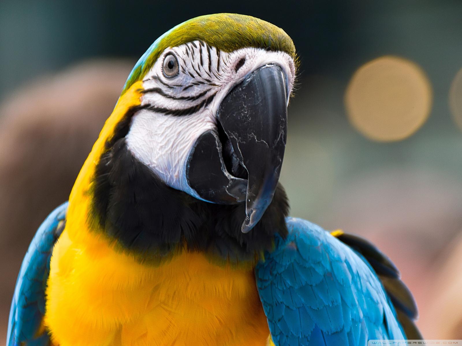 Free Parrot Ara Ararauna phone wallpaper by mychkyle