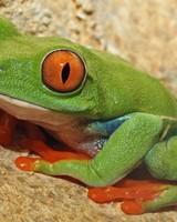 Green Frog With Orange Eyes