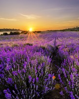 Sunrise In The Field Of Lavenders