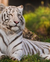 White Tiger Lying in the Grass