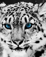 Snow Leopard - Black And White
