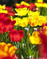 Abloom Colored Tulips