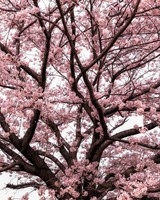 Soft Pink Japanese Cherry Tree Blossom