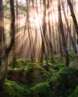 Pine Forest Sunrise