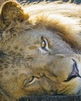 Tired Lion wallpaper 1
