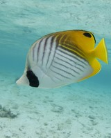 Thread-fin Butterfly Fish