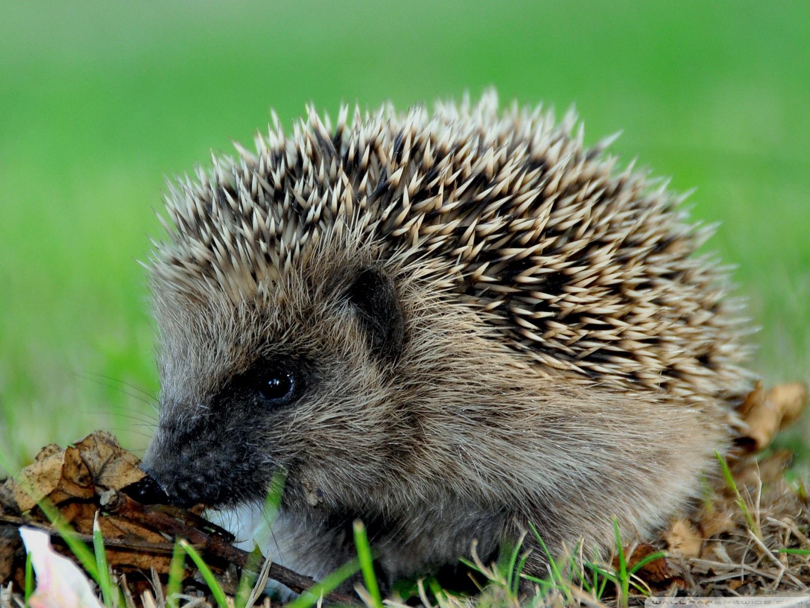 Free Cute Hedgehog phone wallpaper by roonn