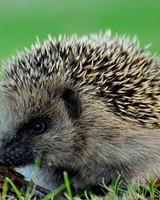 Cute Hedgehog wallpaper 1