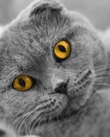 Scottish Fold Cute Cat