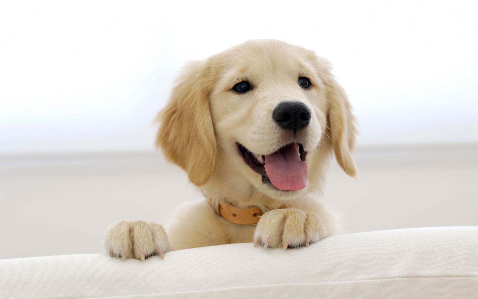 Free Golden Retriever Puppy phone wallpaper by 3176791458