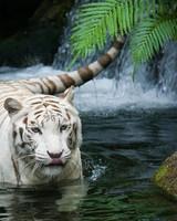 White Tiger Beautiful