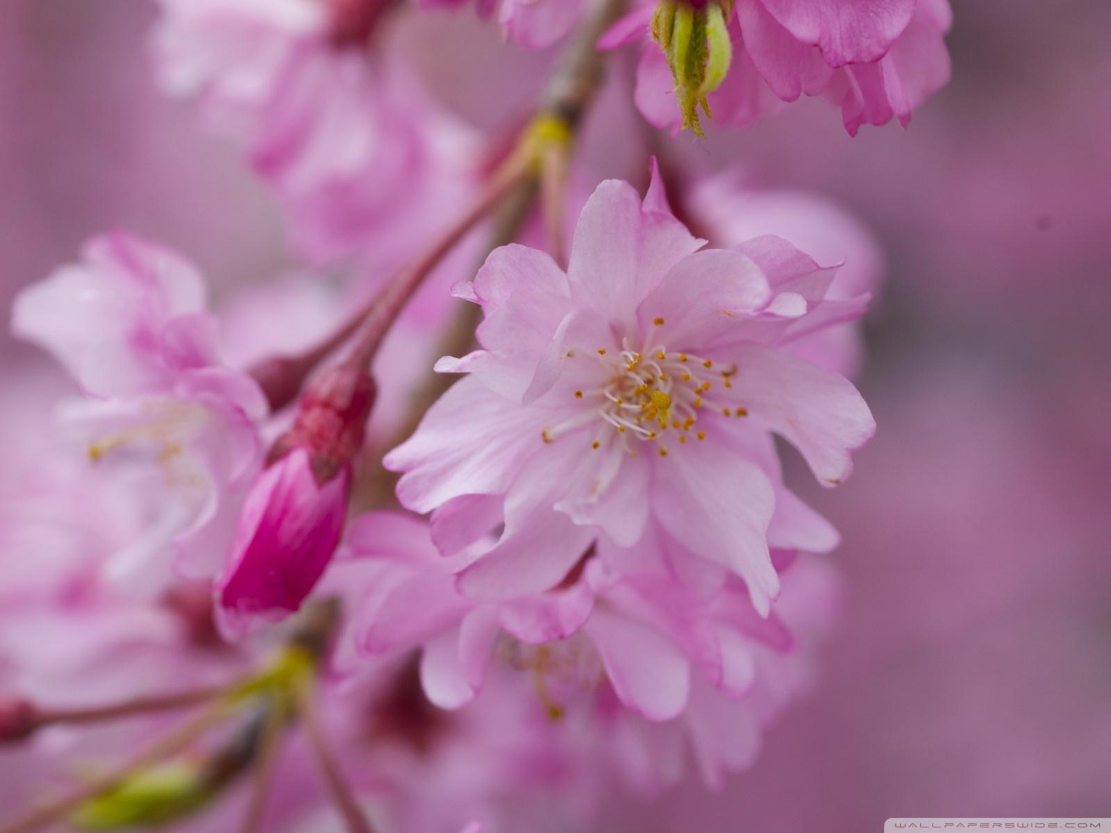 Free Dark Pink Sakura Macro phone wallpaper by vindictiveviolet