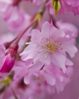 Dark Pink Sakura Macro wallpaper 1