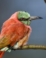 A Perched Bee Eater wallpaper 1