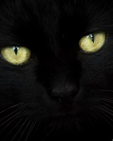 Black Cat Portrait