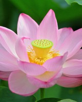 Pink Lotus Flower from Above