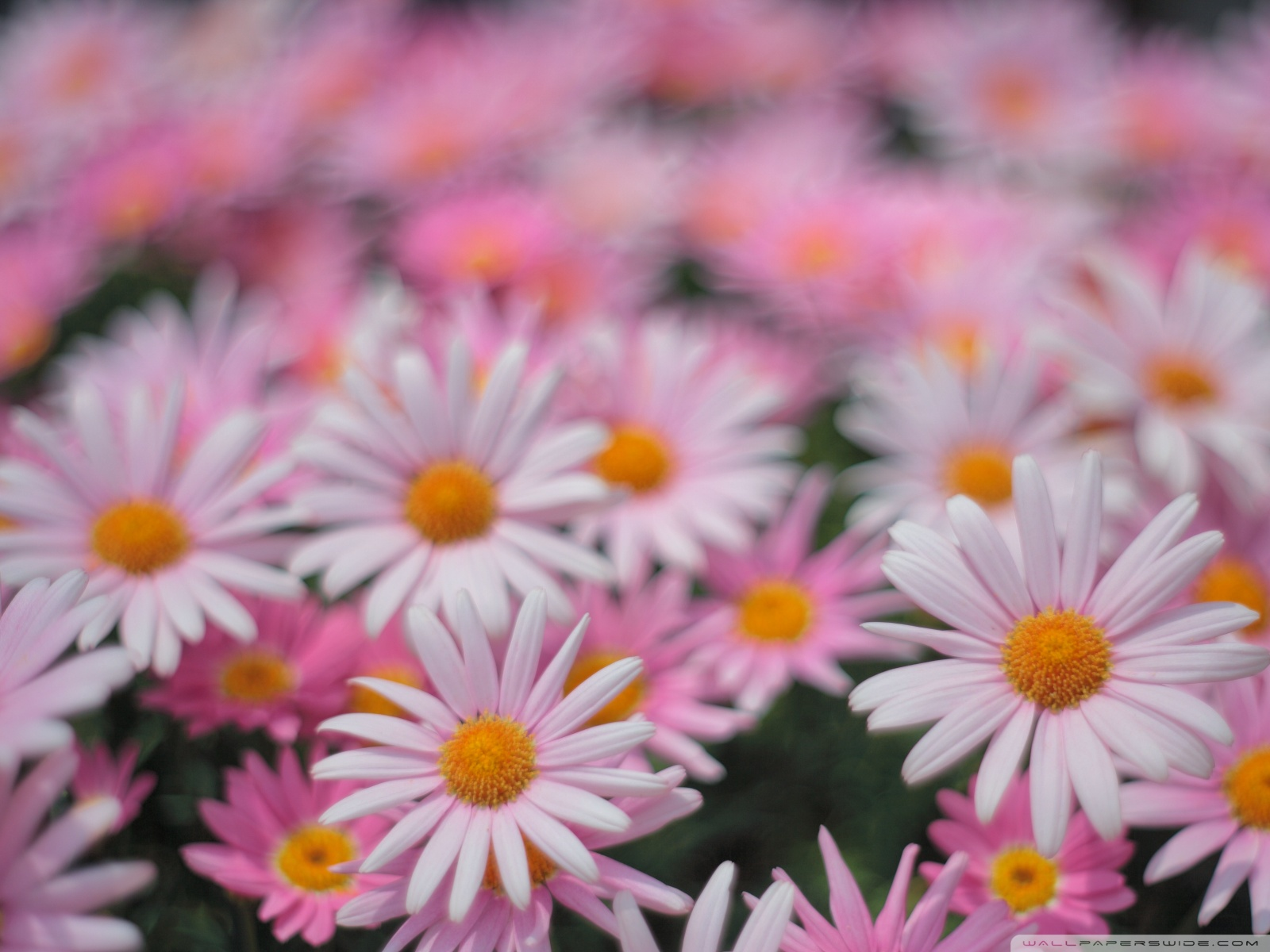 Free Pink Daisies phone wallpaper by ashleehayes