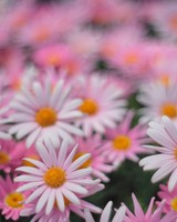 Pink Daisies wallpaper 1