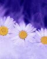 Three White Daisy