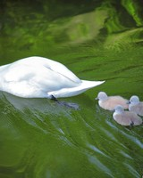Baby Swans Following Mother