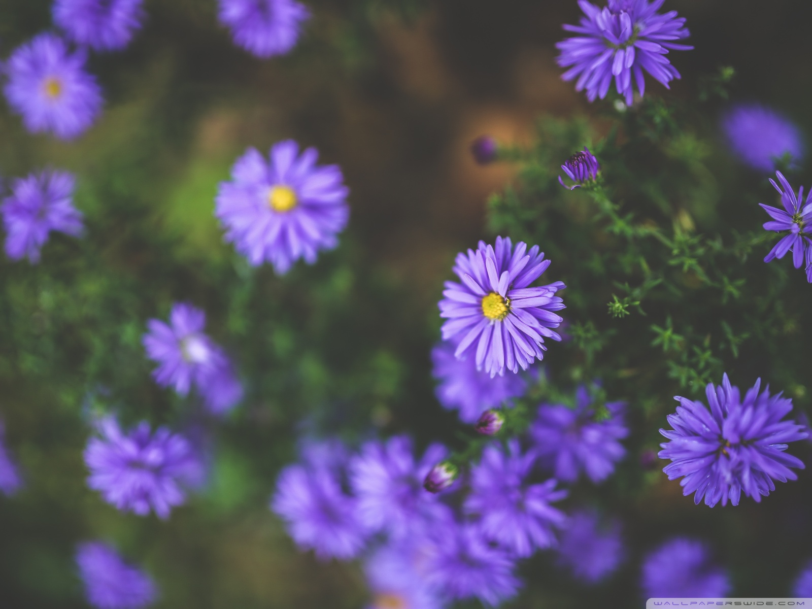 Free Violet Flowers phone wallpaper by bosshogg920