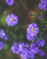 Violet Flowers wallpaper 1