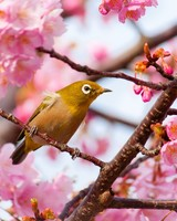 Yellow Bird on a Cherry Blossom Tree Branch