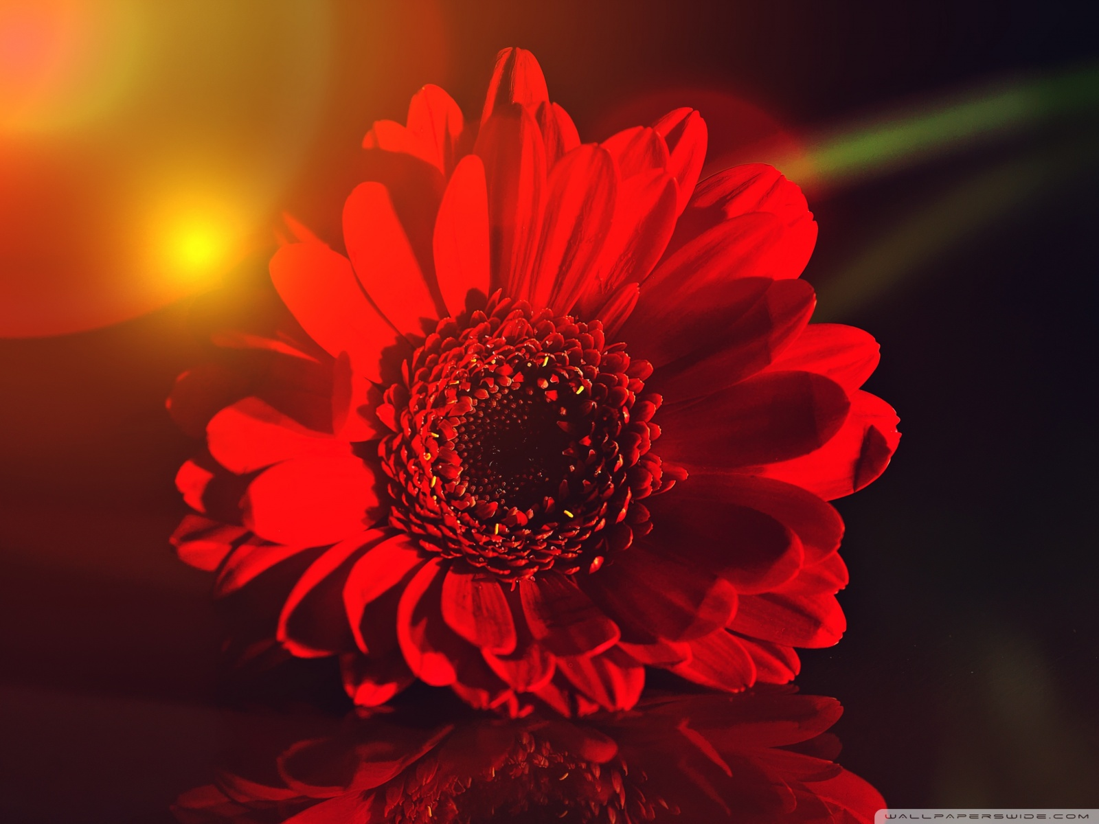 Free Dark Red Gerbera Daisy phone wallpaper by fetom08