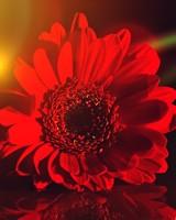 Dark Red Gerbera Daisy