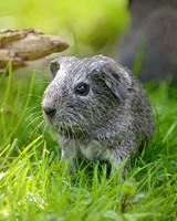 Guinea Pig Baby Outdoor