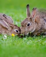 European Rabbits Pair